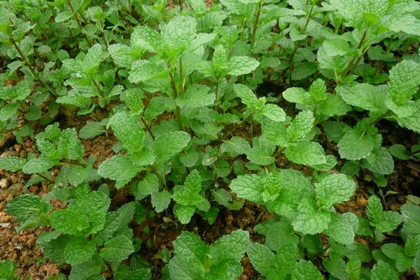 Cách trồng rau húng lủi