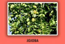 Jojoba