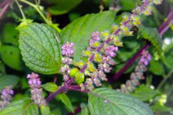 Lá và hoa hương nhu