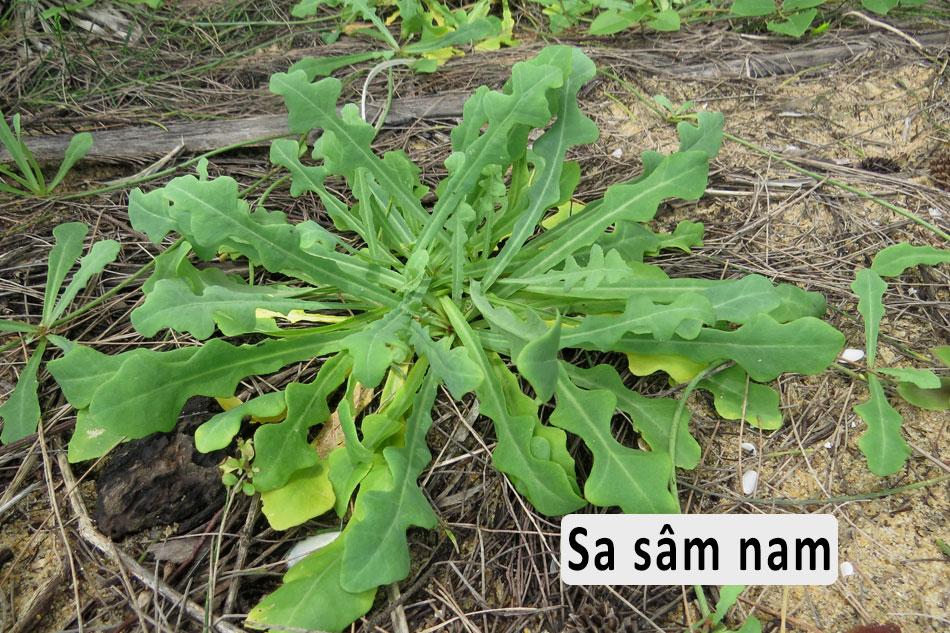 Sa sâm nam (sa sâm Việt)